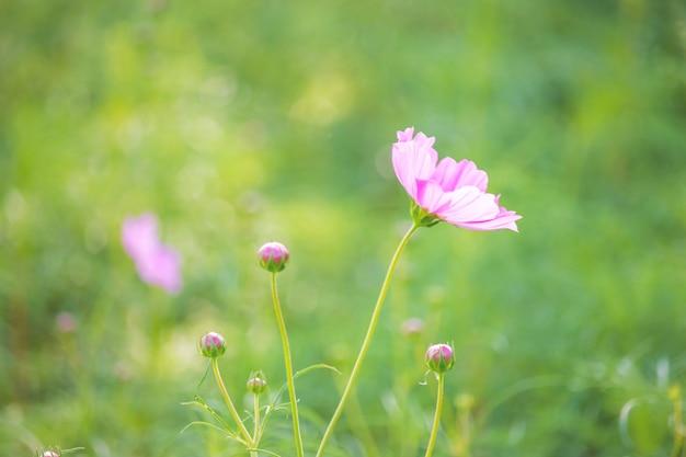 Schöne lila kosmosblumen im garten.
