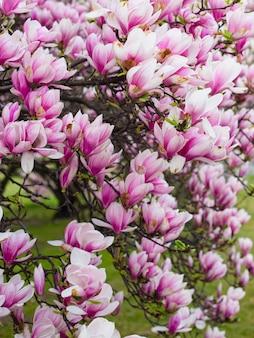 Schöne lila magnolienblüten in der frühlingssaison auf dem magnolienbaum. rosa blüte.