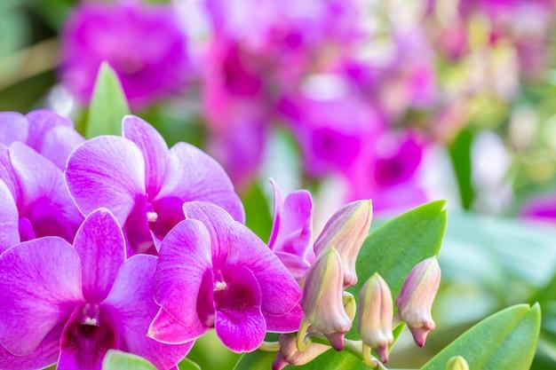 Schöne lila orchideen, dendrobium.