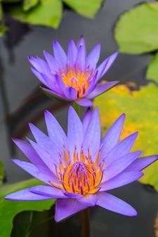 Schöne lila pollenlotosblüten-insektenbiene fliegt mit pollen im see, reines rosafarbenes lotusblütengrünblatt.