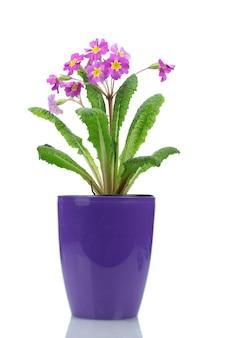 Schöne lila primel in einem blumentopf lokalisiert auf weiß