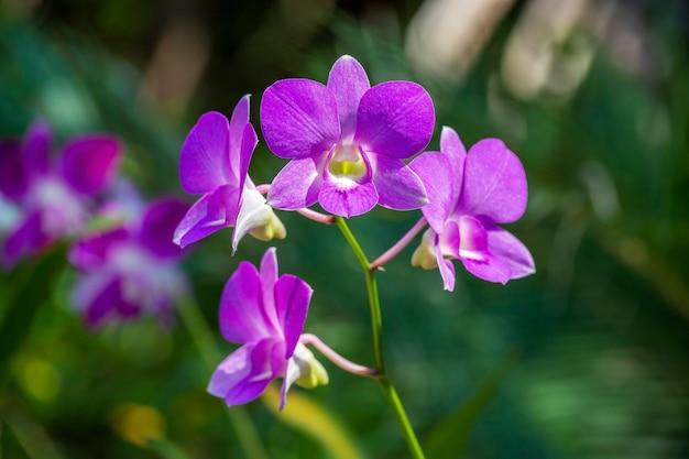 Schöne lila rosa orchideen auf dem grünen hintergrund der blätter. natürliche bedingungen. nahaufnahme, im freien, naturkonzept. exotische tropische bunte blume mit grünem hintergrund, asien, thailand