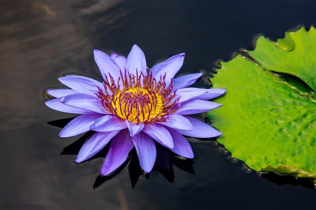 Schöne lila seerose mit schönem blatt auf wasser.
