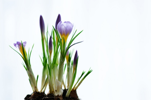 Schöne lila violette krokusse. frühlingskonzept