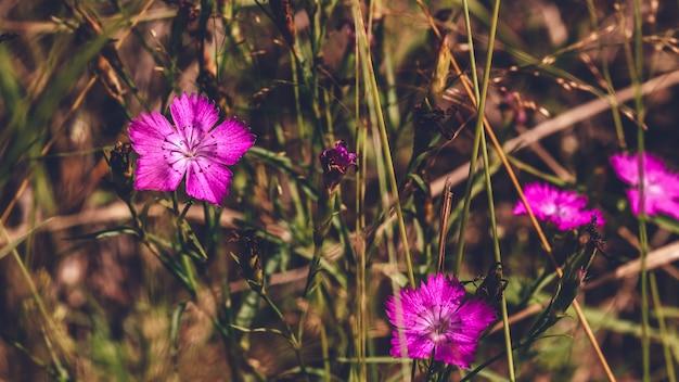 Schöne lila waldblume auf unscharfem hintergrund.
