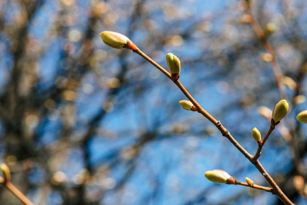 Schöne lindenniederlassungen mit zeit der nahaufnahme der blühenden knospen im frühjahr.