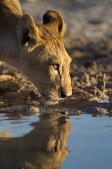 Schöne löwin trinkwasser aus dem see mit ihrem spiegelbild im wasser