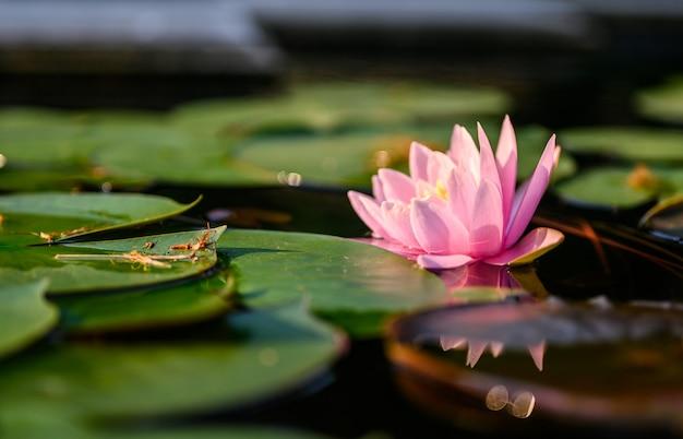 Schöne lotosblume auf dem wasser nach regen im garten.