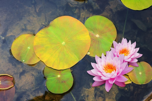 Schöne lotosblume, die auf wasser schwimmt