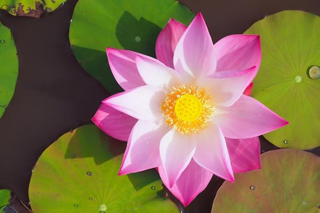 Schöne lotosblume im fluss, draufsicht