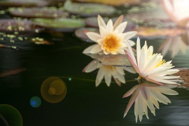 Schöne lotosblume im teich, das symbol des buddhas, thailand.