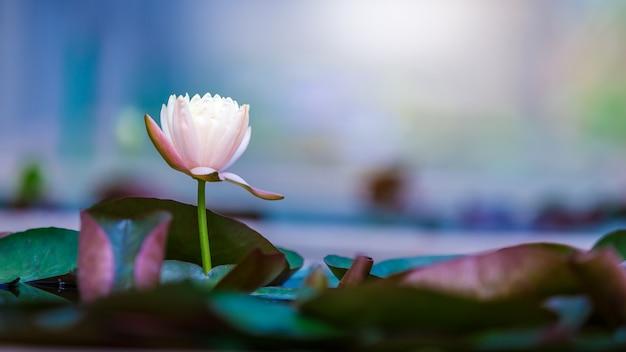 Schöne lotosblume oder seerose auf oberfläche von blauem teich