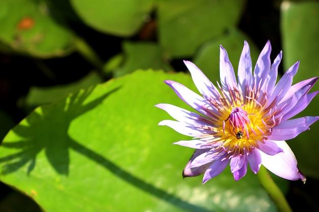Schöne lotosblumen in tropischem