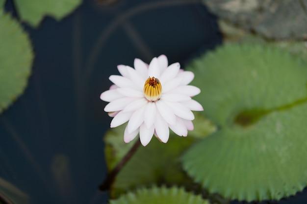 Schöne lotusblume im teich, tröpfchenwasser auf lotus