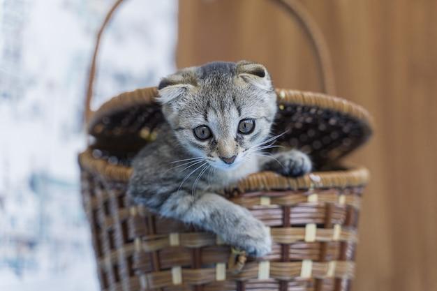 Schöne lustige hängeohr kleine katze in einem weidenkorb.