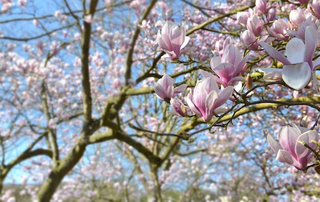 Schöne magnolie, die auf blauem himmel in einem garten blüht
