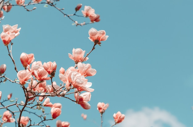 Schöne magnolienbaumblüten im frühling. helle magnolienblume gegen blauen himmel.