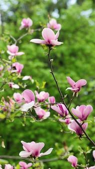 Schöne magnolienbaumblüten im frühling. jentle magnolienblüte gegen frisches laub.