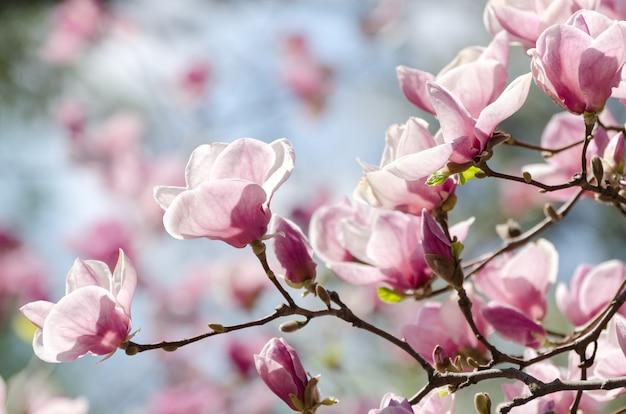 Schöne magnolienbaumblüten im frühling. jentle magnolienblume gegen sonnenuntergangslicht.