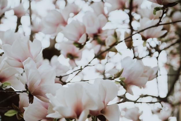 Schöne magnolienblüten während der frühlingszeit