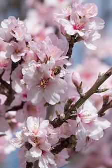 Schöne mandelbäume