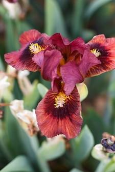 Schöne mehrfarbige irisblume.