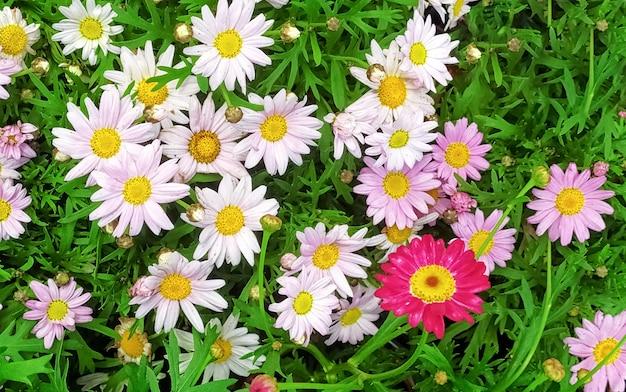 Schöne mehrfarbige kultivierte gänseblümchenblumen.
