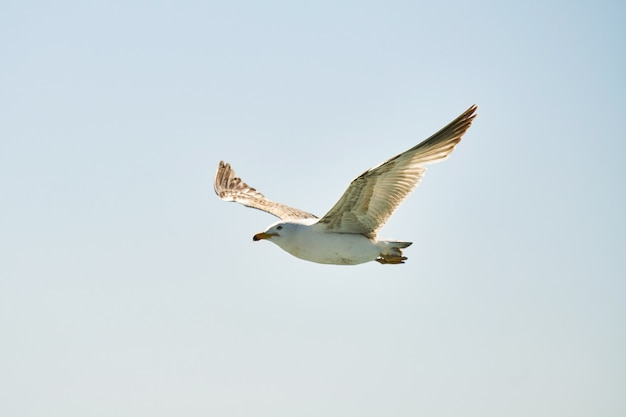 Schöne möwe in der luft fliegen