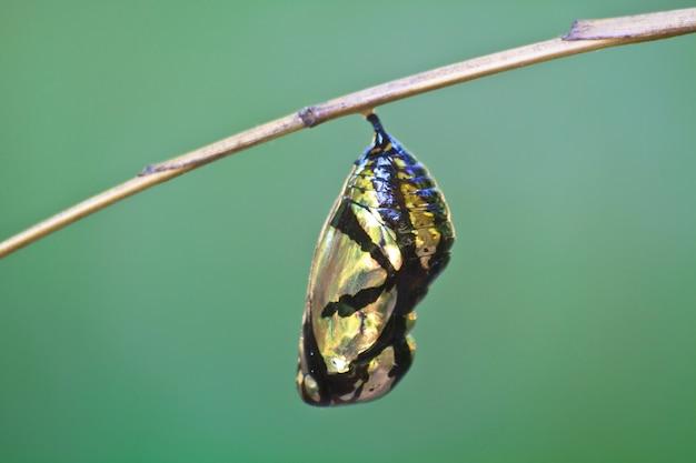 Schöne monarchpuppe, die an der niederlassung hängt