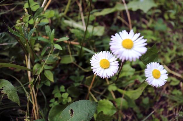 Schöne nahaufnahme des baumes weißes gänseblümchen unter gras