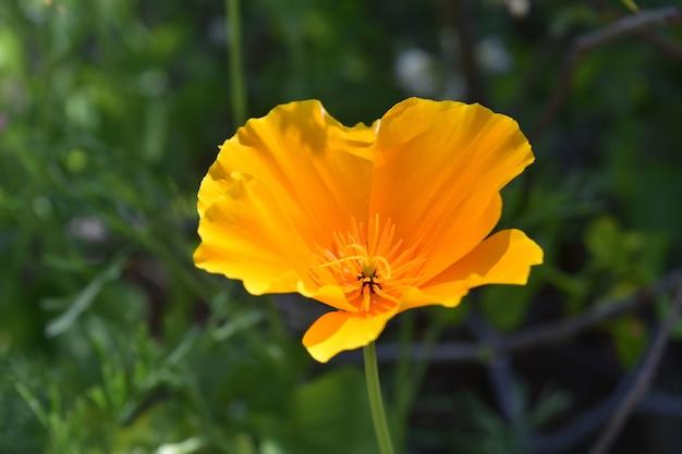Schöne nahaufnahme einer orangefarbenen mohnblume