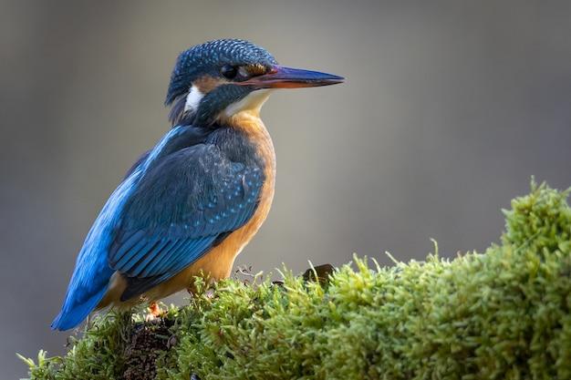 Schöne nahaufnahme eines gewöhnlichen eisvogels unter dem sonnenlicht
