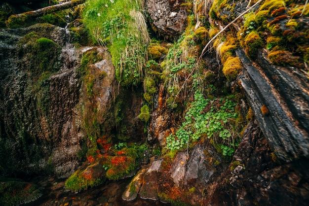 Schöne nasse moosige felsen mit lebendiger grüner nahaufnahme. natur mit moosen auf steinen. malerische naturkulisse mit reicher vegetation auf moosigen klippen. quellwasser fließt über felsen