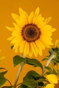 Schöne nasse sonnenblume mit tautropfen auf gelbem hintergrund