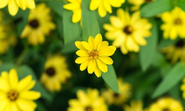 Schöne natürliche gelbe mexikanische sonnenblumen in der draufsicht des gartens