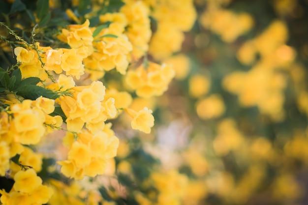 Schöne natur des gelben blütenblumenwand-unschärfehintergrundes mit kopienraum