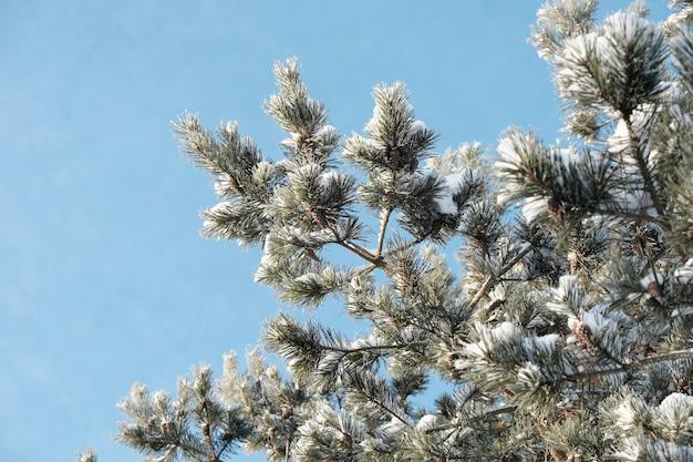 Schöne natur des nordens, natürliche landschaft mit großen bäumen im frostigen winter