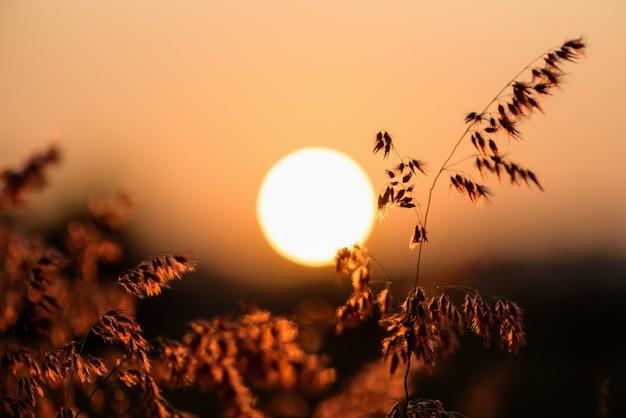 Schöne naturlandschaft hell bunt die feldrote blume des tropischen grases unter der sonne und dem sonnenlicht auf der wiese bei sonnenuntergang, warmes orange für den sommernaturhintergrund