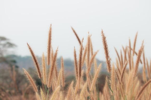 Schöne naturlandschaft - schönes gras der nahaufnahme blüht in der natur während der tageszeit.