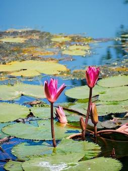 Schöne naturrosa waterlily blume oder lotosblume und lotospflanze, lotosblatt auf wasseroberfläche im see oder im teich