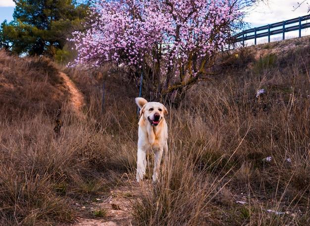 Schöne naturszene mit blühendem baum- und labrador-hund