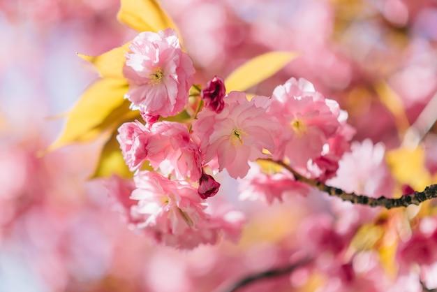 Schöne naturszene mit blühender sakura. nahansicht.