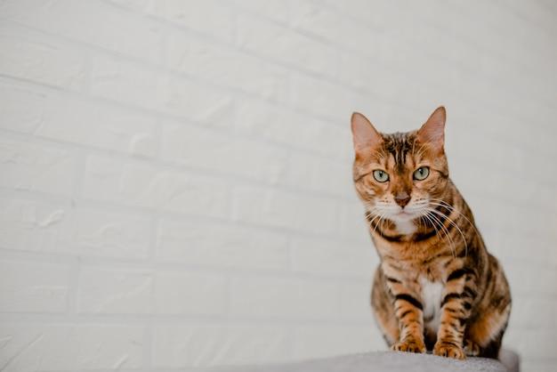 Schöne nette bengal-katze, die auf dem sofa liegt und sitzt.