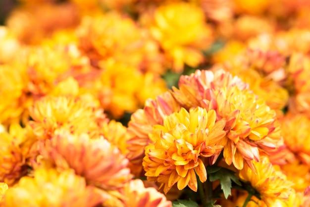 Schöne orange chrysantheme blüht hintergrund