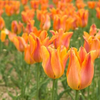 Schöne orange tulpen.