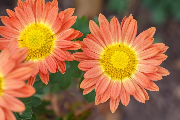 Schöne orangefarbene blumen unter sonnenlicht. nahaufnahme.