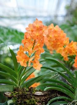 Schöne orchideenblume mit natürlichem.