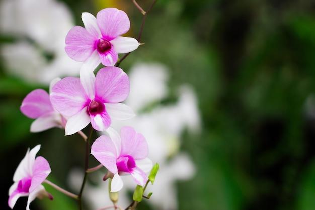 Schöne orchideenblume, orchidee im tropischen garten. orchidee in der natur.