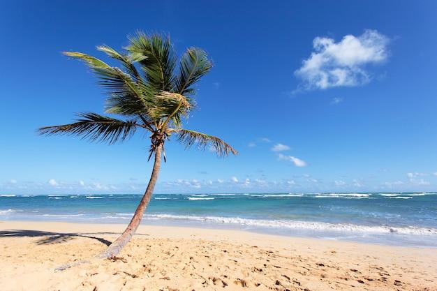 Schöne palme im karibischen strand