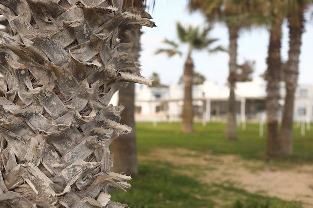 Schöne palmen im park. palmen an der malerischen küste auf zypern in der nähe des hotels. perspektivische ansicht. panorama der republik zypern. selektiver fokus